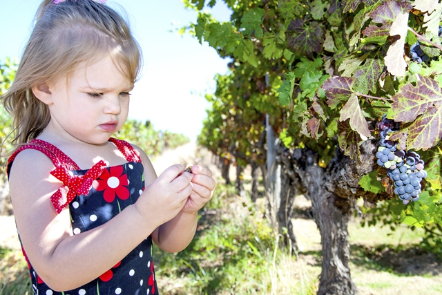 Cape Wine Farm grape Picking