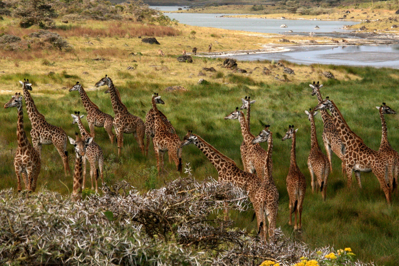Giraffes at Arusha_Tanzania (1)